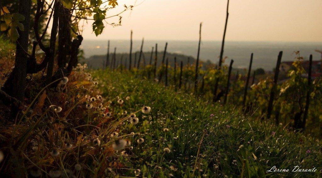 filari-vigne