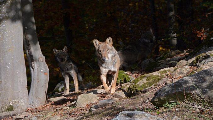 Uomini e lupi aperto la domenica
